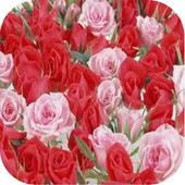 Beautiful Rose Wallpaper icon