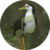 White-breasted waterhen Sounds icon