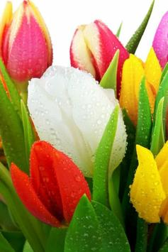 Colorful Tulips Live Wallpaper poster