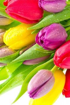 Colorful Tulips Live Wallpaper apk screenshot