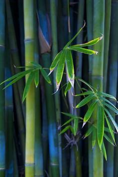 Bamboo Forest Live Wallpaper apk screenshot