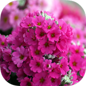 Pink Flowers Live wallpaper icon