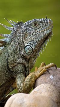 Iguana HD Wallpaper poster