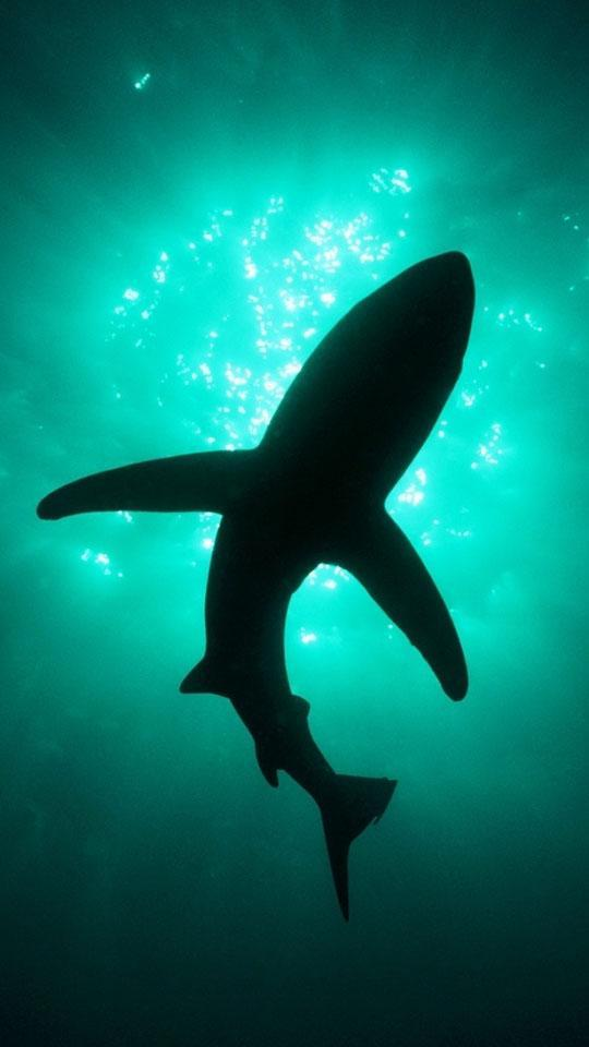 Shark Hd Wallpapers For Android Apk Download