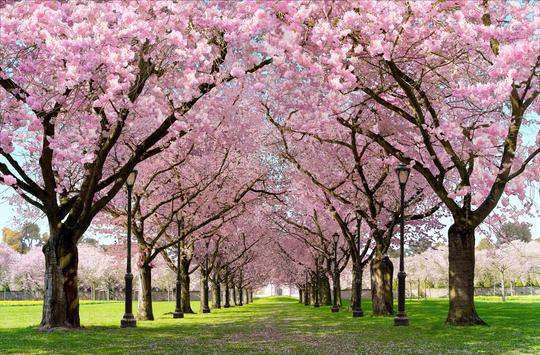 春の桜花の無料3D桜 春 の 桜 花 の 無 料 3D 桜 Cherry blossom FREE ポスター