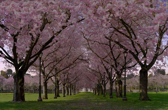 春の桜花の無料3D桜 春 の 桜 花 の 無 料 3D 桜 Cherry blossom FREE スクリーンショット 12