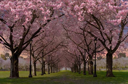春の桜花の無料3D桜 春 の 桜 花 の 無 料 3D 桜 Cherry blossom FREE スクリーンショット 8