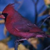 Cardinal Birds Wallpapers icon