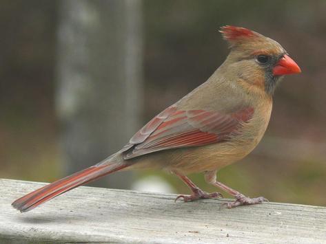 Cardinal Birds Wallpapers apk screenshot