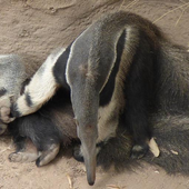Cute Anteater Wallpaper Images icon