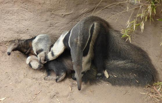 Cute Anteater Wallpaper Images poster