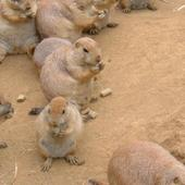 Cute Prairie Dogs Wallpapers icon