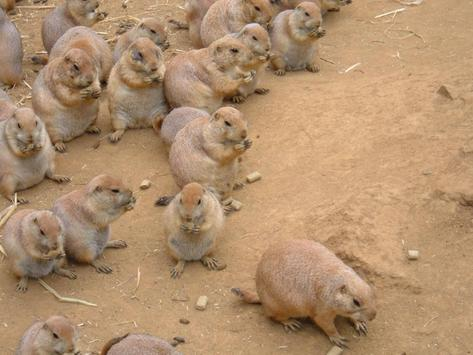 Cute Prairie Dogs Wallpapers poster