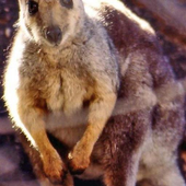 Cute Wallaby Wallpaper Images icon