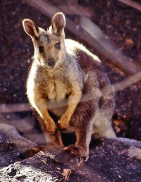 Cute Wallaby Wallpaper Images poster