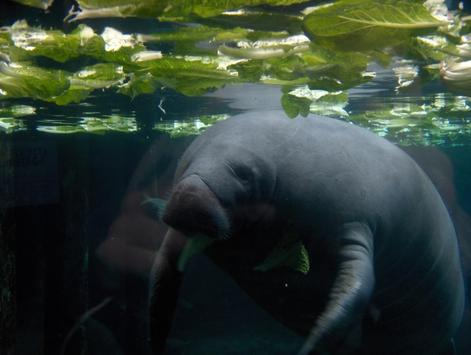 Baby Manatee Wallpaper Images poster
