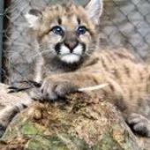 Baby Cougar Kittens Wallpapers icon