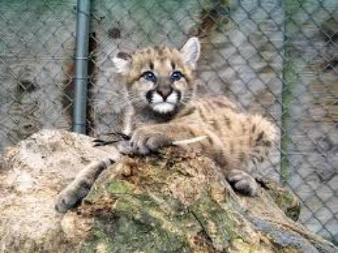 Baby Cougar Kittens Wallpapers poster