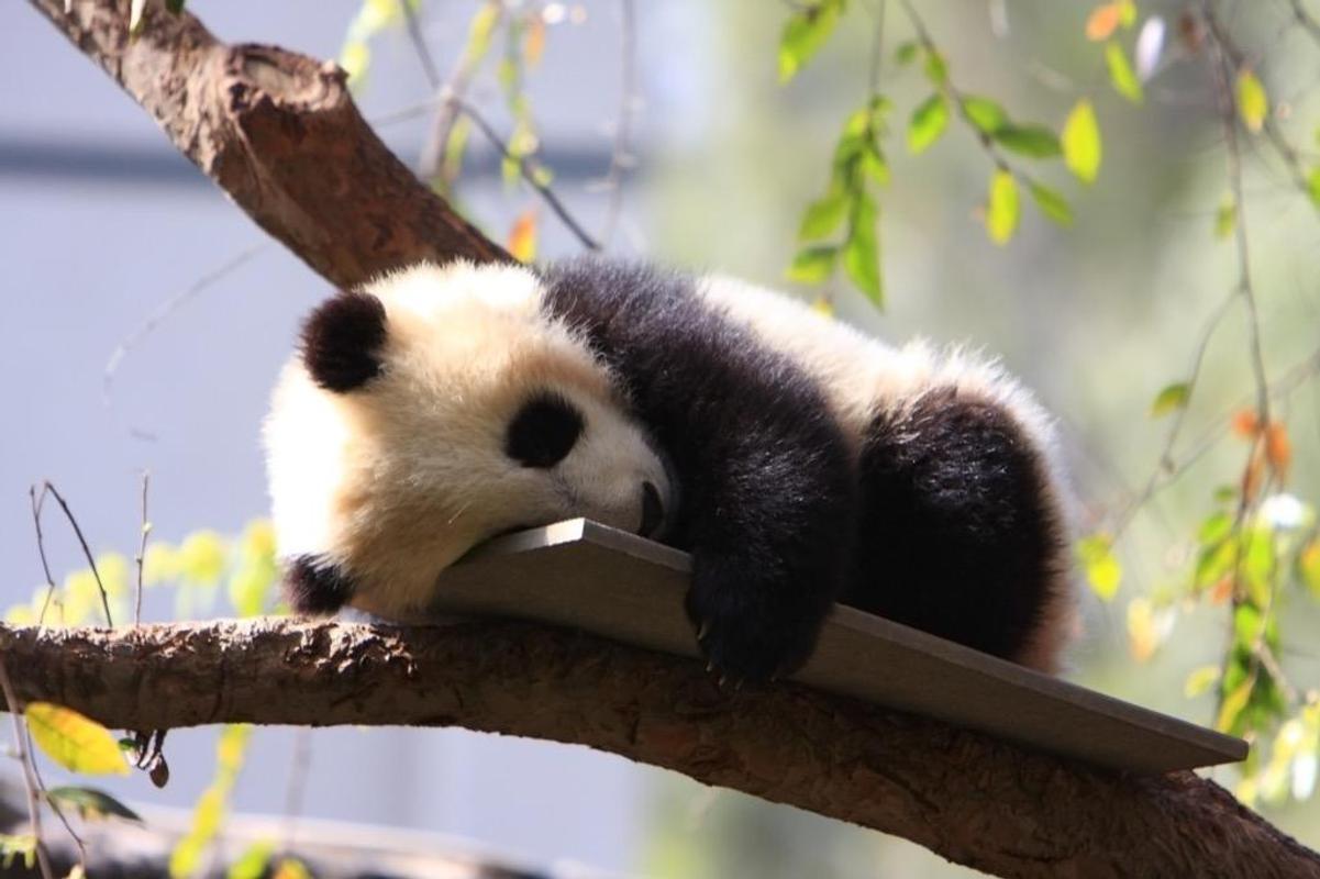 Baby Pandas Wallpaper Images Poster