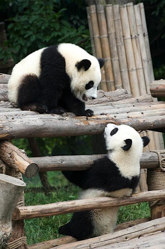 Baby Pandas Wallpaper Images Apk Screenshot