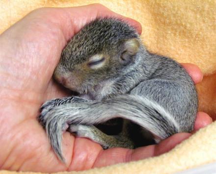 Baby Squirrels Wallpapers apk screenshot