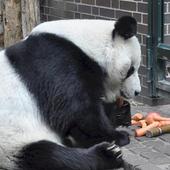 Giant Pandas Wallpaper Images icon