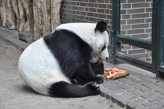 Giant Pandas Wallpaper Images poster