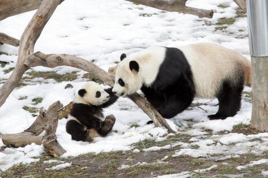 Giant Pandas Wallpaper Images apk screenshot