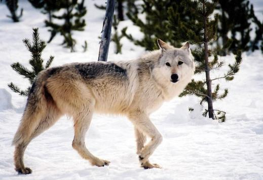 Gray Wolf Wallpaper Images poster