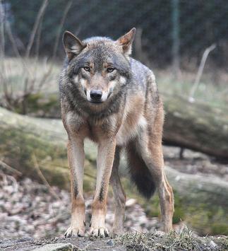 Gray Wolf Wallpaper Images screenshot 1