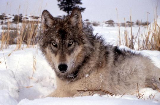 Gray Wolf Wallpaper Images screenshot 2