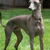 Greyhound Puppy Wallpapers icon