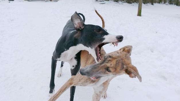 Greyhound Puppy Wallpapers screenshot 1