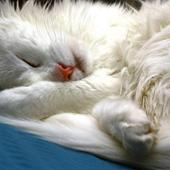 Longhair Cats Wallpaper Images icon