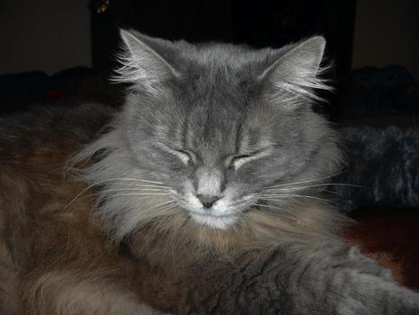Longhair Cats Wallpaper Images screenshot 1