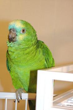Amazon Parrots Wallpapers FREE screenshot 4