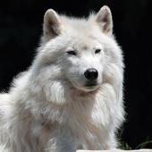 Arctic wolf Wallpapers HD FREE icon