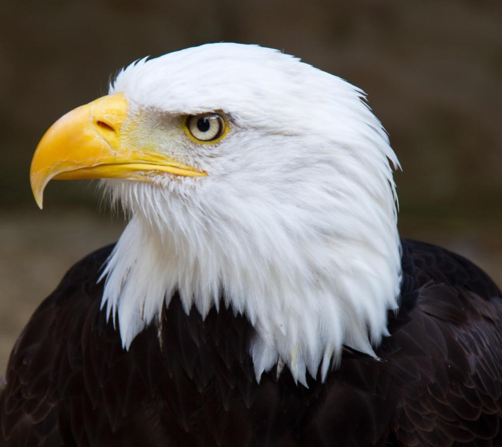 Bald Eagles Wallpapers Hd Free For Android Apk Download