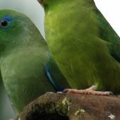 Parrotlet Parrots Wallpapers icon