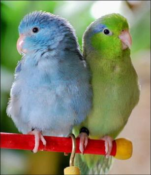 Parrotlet Parrots Wallpapers apk screenshot