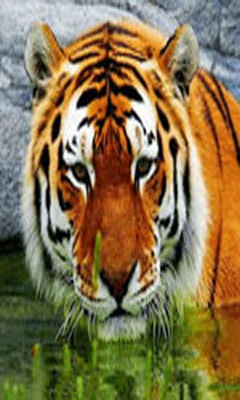 4k Tiger Wallpapers And Ultra Hd Backgrounds For Android Apk Download