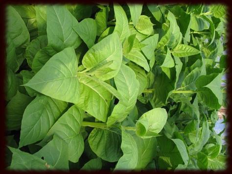 Tobacco Leaves Wallpapers apk screenshot
