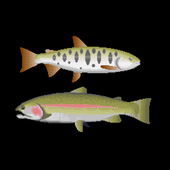 Trout lure fishing icon