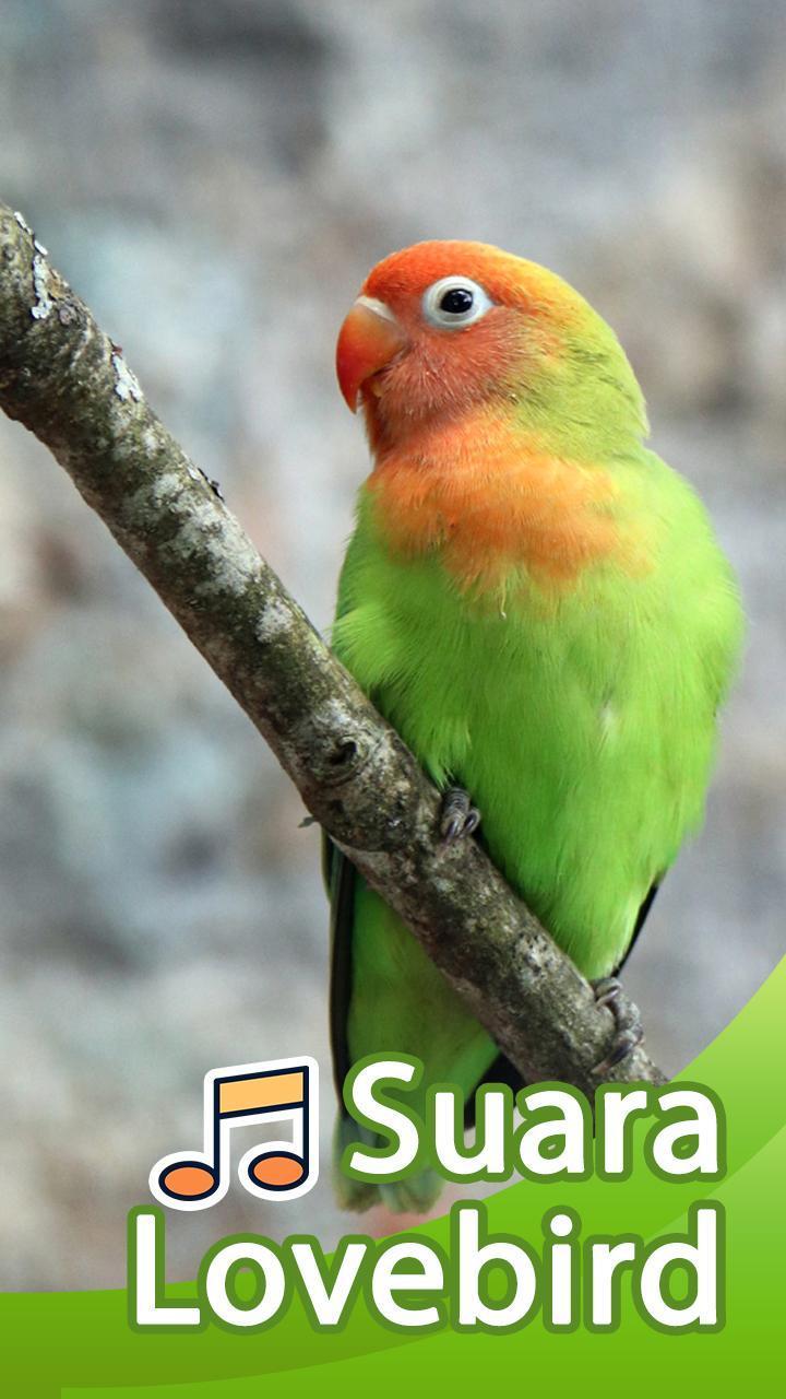 Suara Lovebird Master Lovebird For Android Apk Download
