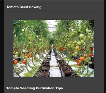 Successful cultivation of tomatoes poster