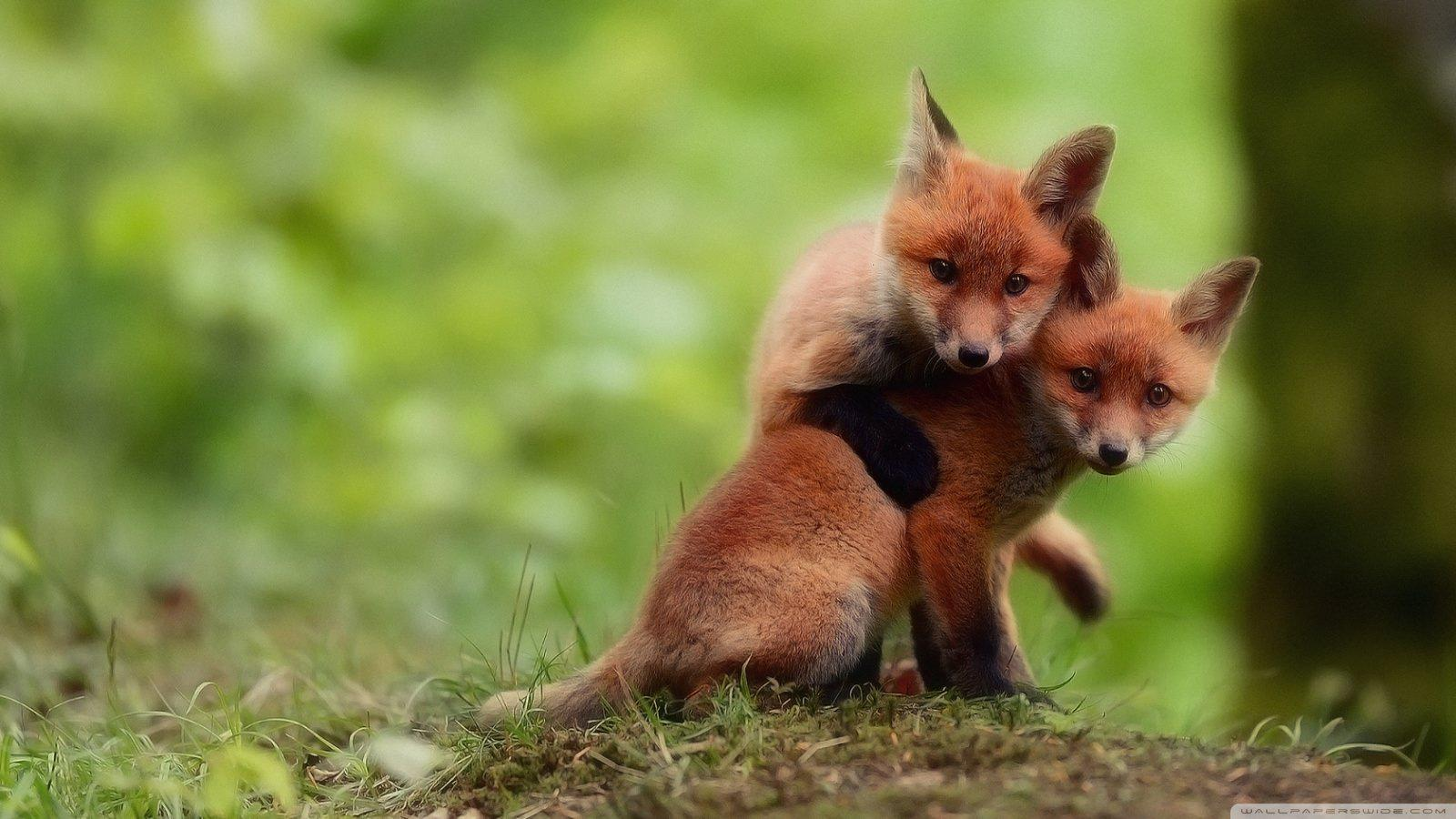 Baby Fox Wallpaper For Android Apk Download
