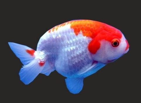 Beautiful Koki Fish Gallery screenshot 6