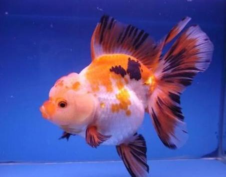 Beautiful Koki Fish Gallery screenshot 1
