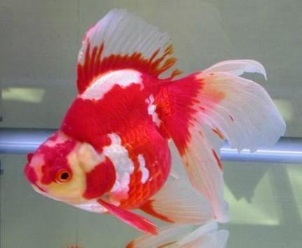 Beautiful Koki Fish Gallery screenshot 3