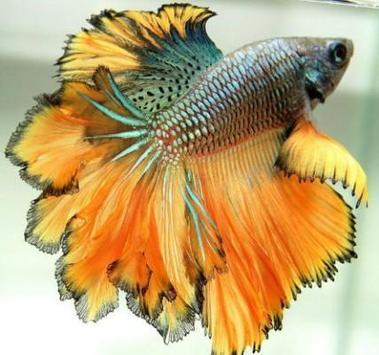 Betta Fish 3D screenshot 6